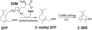 2-methylisoborneol synthase